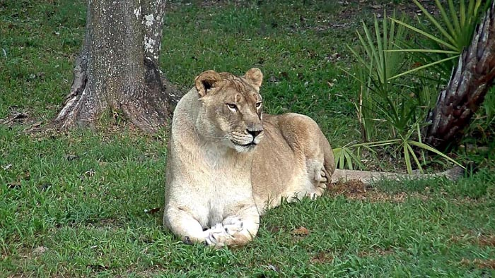 Nikita la leona