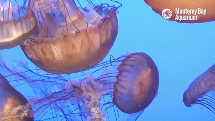 medusa de Monterey